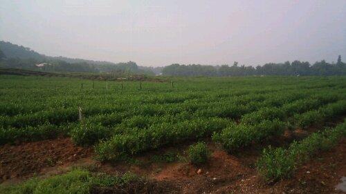 杭州のお茶畑